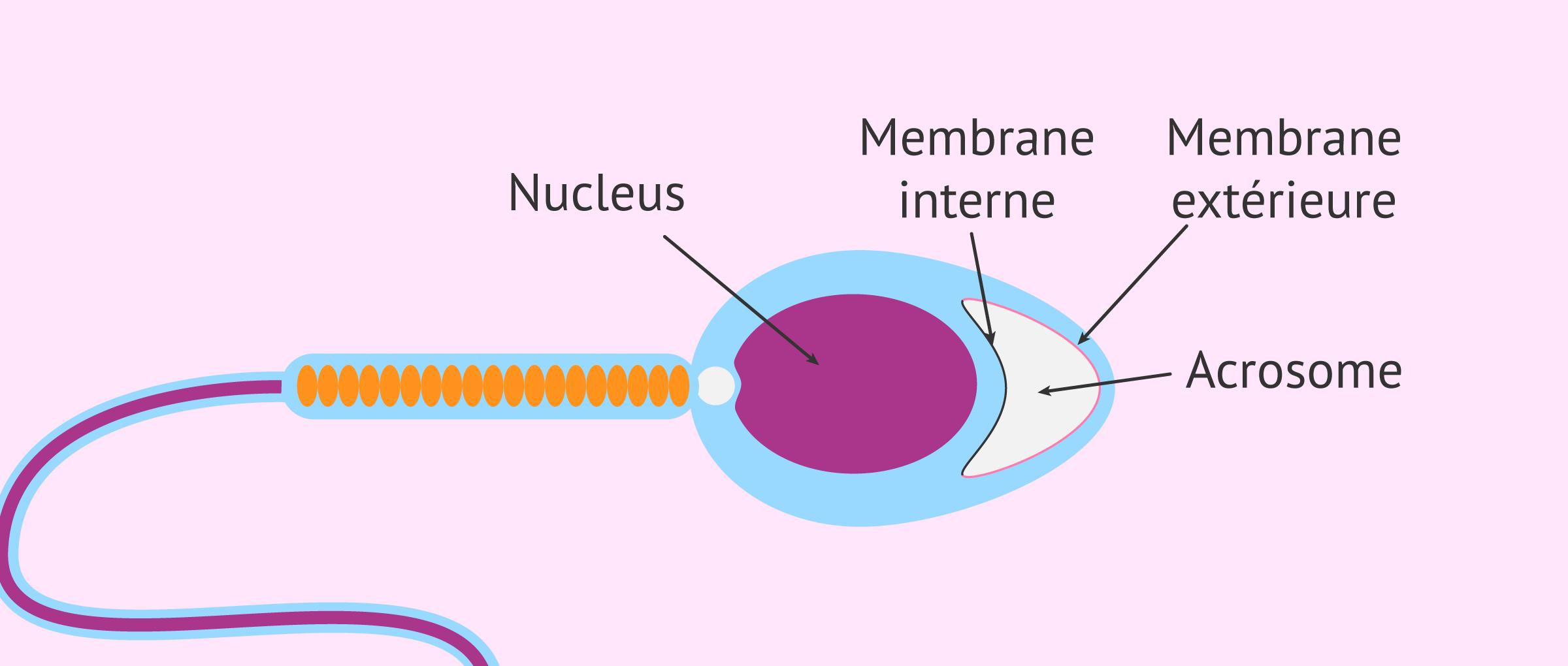Imagen: spermatozoïde acrosome