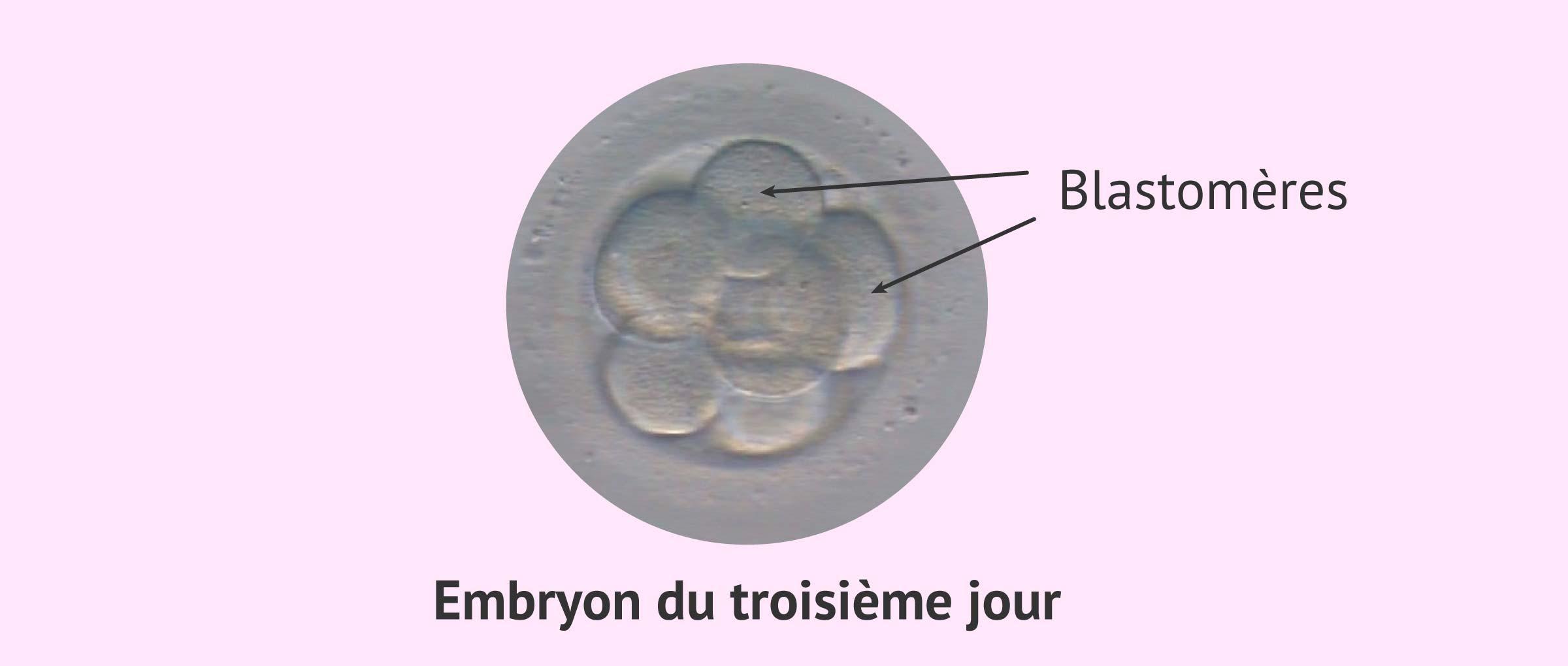 blastomère