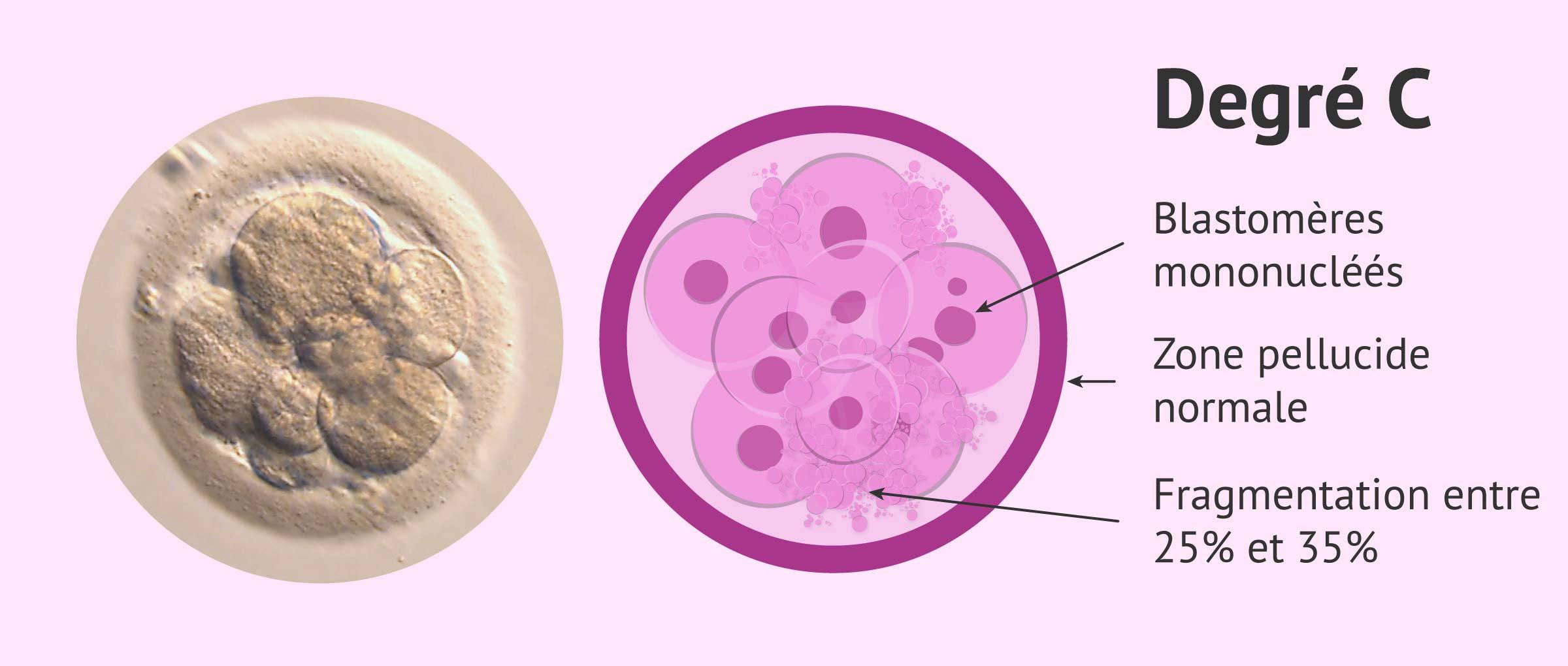 Embryon qualité C