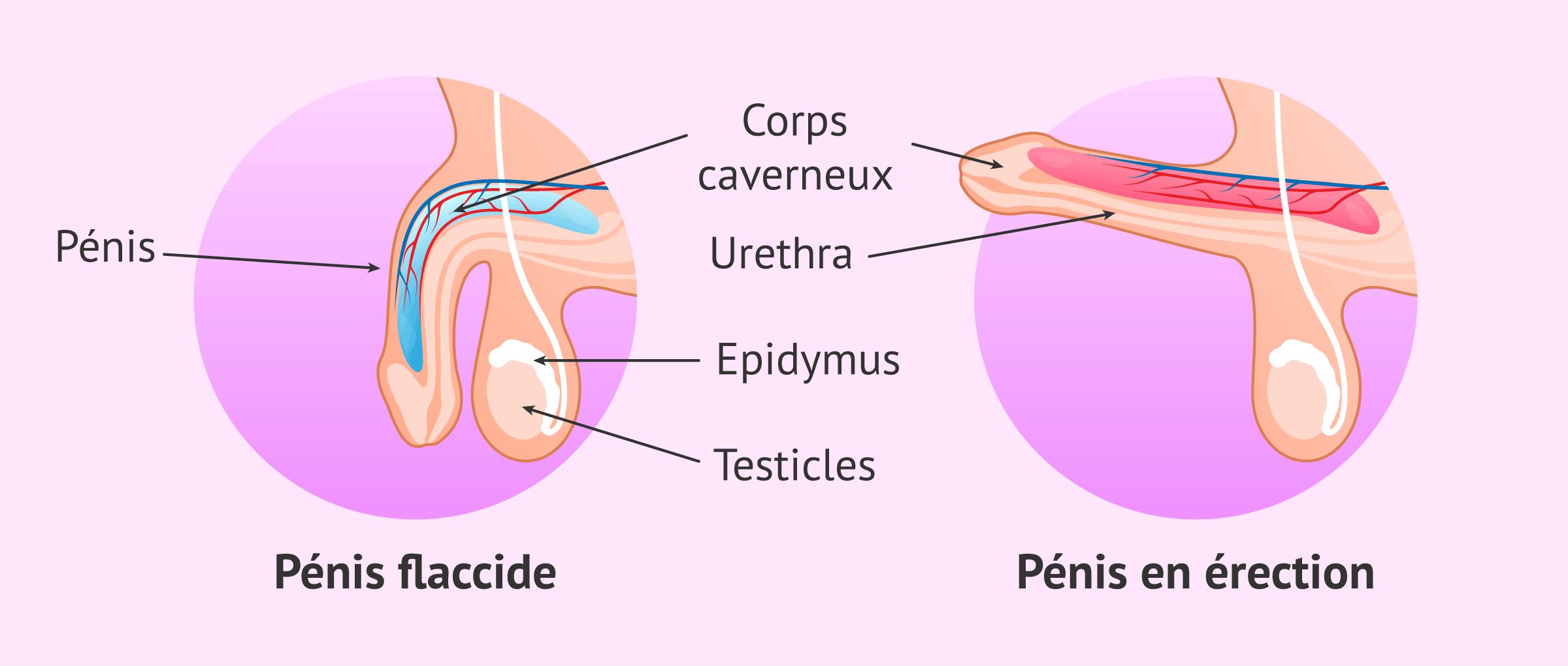 Mécanisme d'érection du pénis