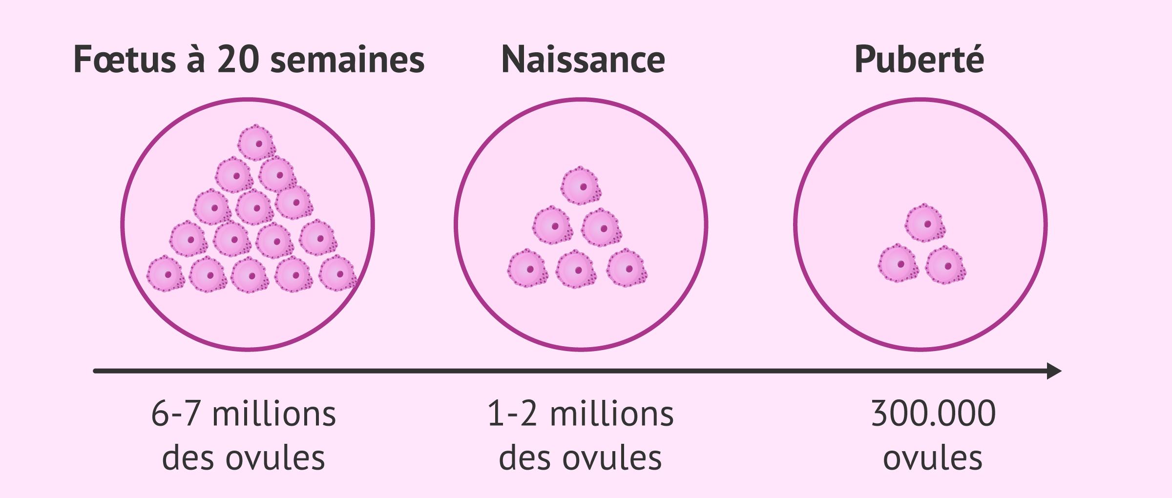 Comment les ovules s'épuisent-ils au cours de la vie ?