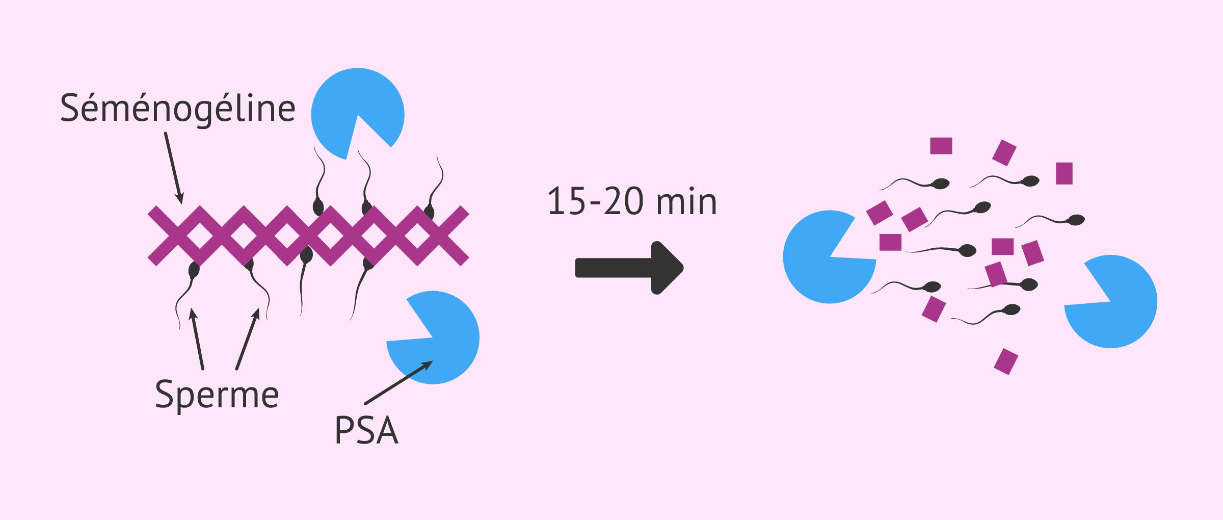 Comment la densité du sperme affecte-t-elle la fertilité?